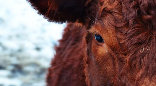 cow-174822_640
