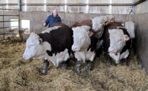 Pedigree Hereford bulls ready for loading with exporter Michael Maxwell