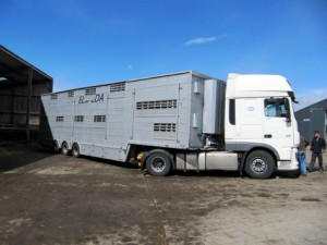 Luxury travel for Hereford heifers across Europe to Russia
